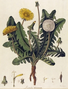 Botanical - Dandelion- engraving - hand colored