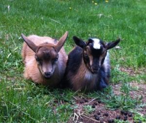 Eldi and Eyar - both Rosebud X Zephy. Blue eyed, bucklings